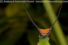 Curved spiny spider Gasteracantha arcuata