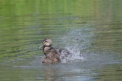 Pacific Black Duck  ( bath time )