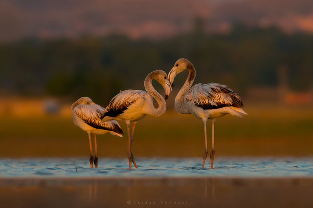 It's all about Light, Greater Flamingos  (Phoenicopterus roseus