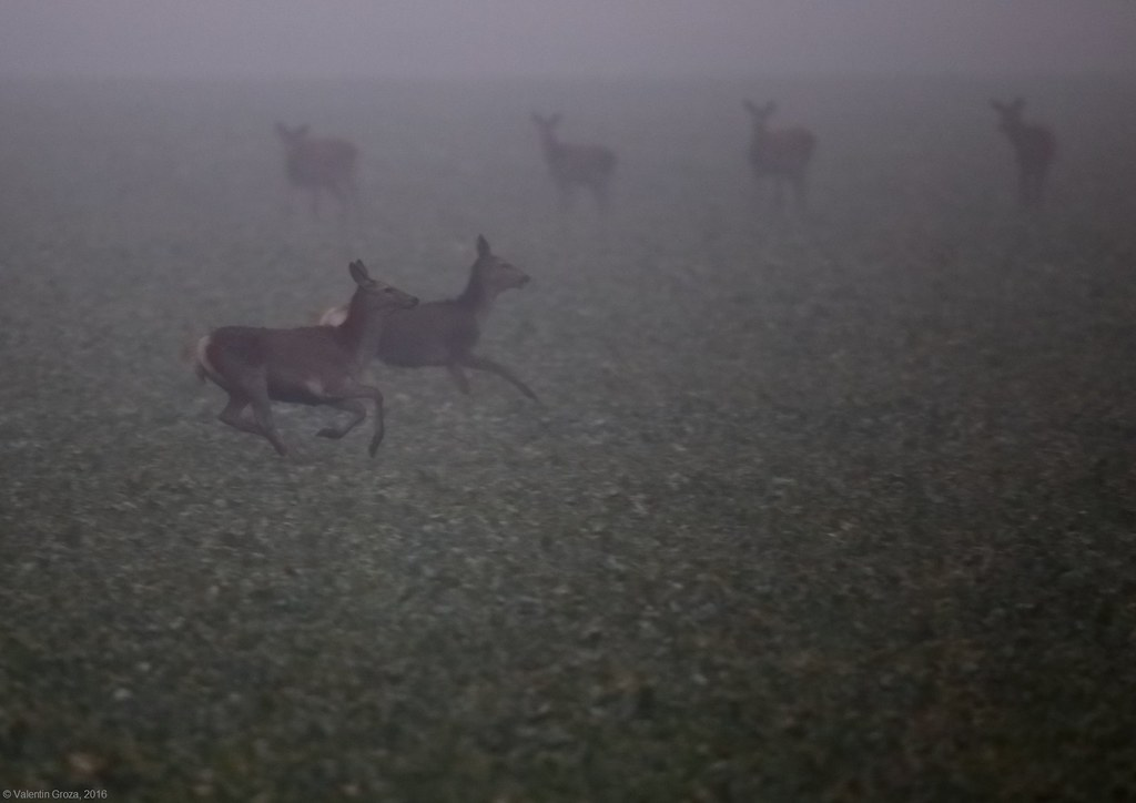 hinds on foggy field 1