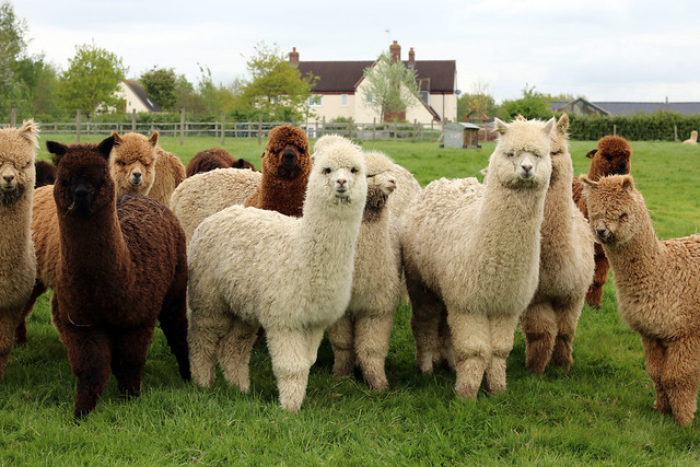 TOFT Luxury British Knitting Company Alpaca Farm