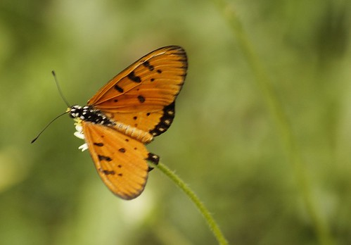 Butterfly-Adyar-Poonga-7