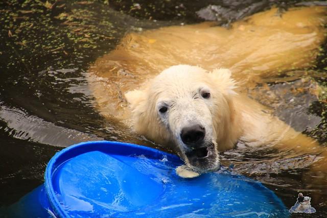Eisbär Fiete im Zoo Rostock 06.09.2015  058