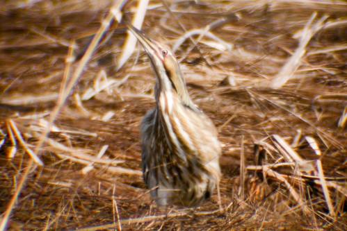 bird wildlife birding americanbittern ornithology birdwatching oiseau faune ornithologie butordamérique
