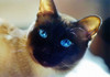 Chocolate Point Siamese by celticpixl