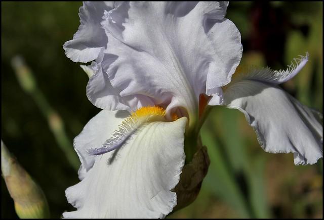 Iris Galaxie du Barry (2)