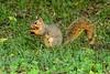 Squirrel Nibble by brev99