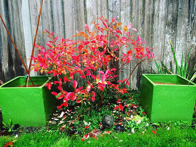 The blueberry bush is looking awfully nice right now 💚❤️
