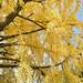 Ginkgo Tree by Sharpness-1