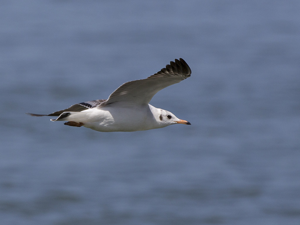 Pallas Gull    Sri Lanka