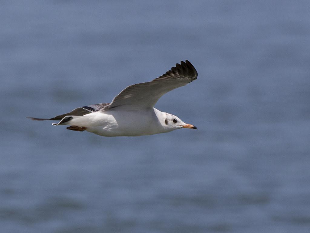 Pallas Gull  Sri Lanka