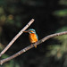Common Kingfisher by salmo_mykiss
