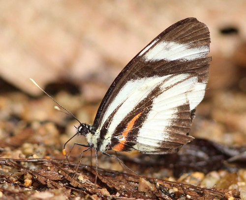bombuscaro butterfly ecuador podocarpusnationalpark richhoyer zamorachinchipe