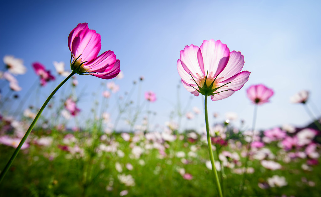 Cosmos Flowers | Please visit my facebook page, www ...
