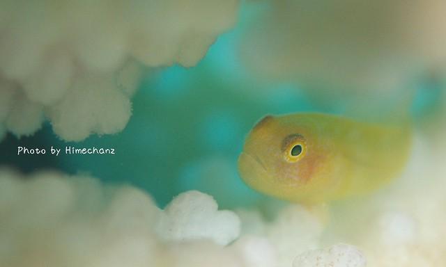 カサイダルマハゼの幼魚風。大きさは成魚。。
