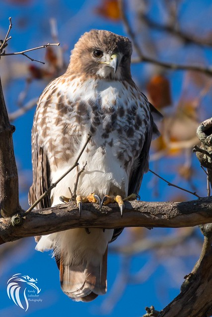 Red-tailed Hawk at Monmouth University - 1