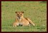FEMALE LIONESS (Panthera leo)......MASAI MARA......SEPT 2014 by M Z Malik
