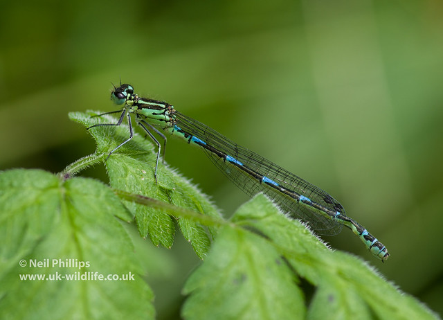 Female variable damselfly-2