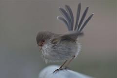 Superb  Fairy - wren  ( how sweet )