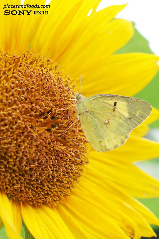 akita sunflower butterfly makro