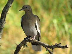 White-winged Dove 9-7-15, Crescent Bend Nature Park, Schertz Texas