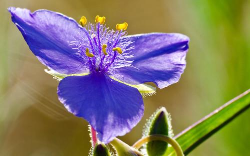 wild flower up closeup canon virginia colorado dof close purple bokeh wildflower spiderwort parker 500d franktown