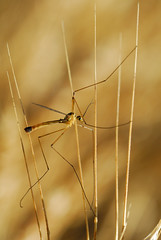 Crane fly resting on wheat on a sunny July morning - Photo of Illifaut