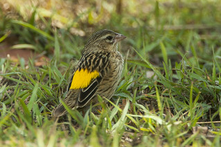 Kenya Yellow-rumped Seedeater - Kenya_IMG_3223