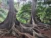 Dinosaur egg trees! #jurassicpark #kauai #hawaii #nofilter