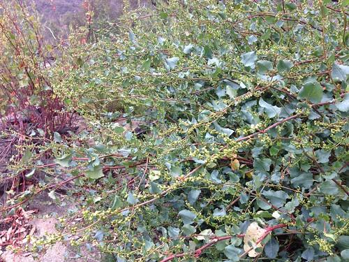 Muehlenbeckia rhyticarya regenerating after fire, Wollemi National Park