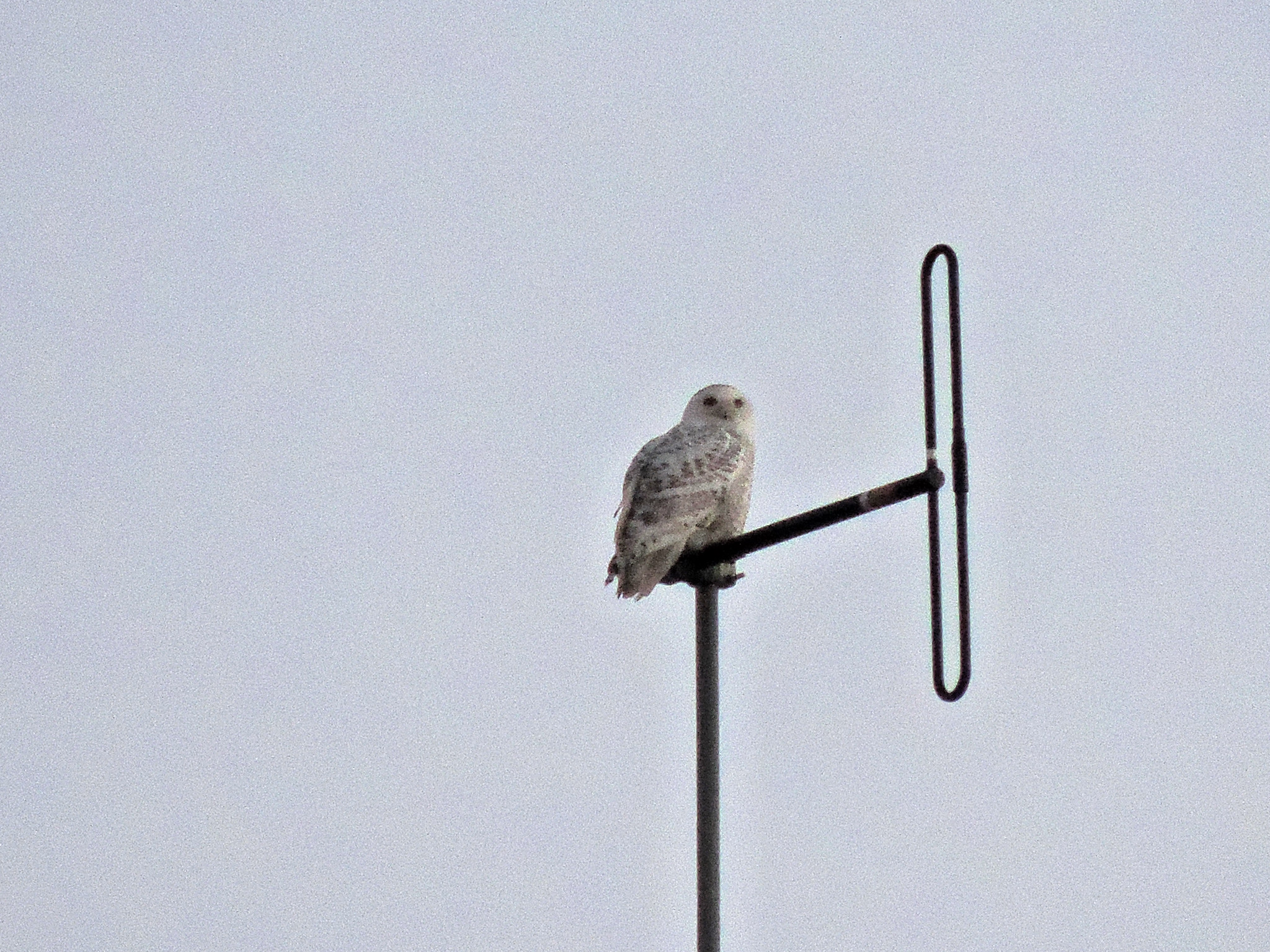 Far Snowy Owl