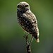 Portrait of a burrowing owl by (Nicole)