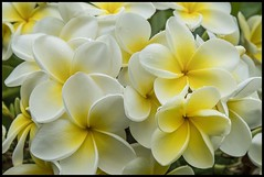 White-Yellow Frangipani-_02=