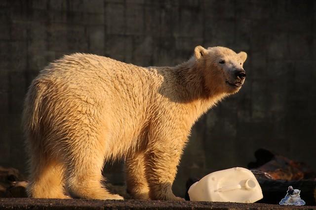 Eisbär Fiete im Zoo Rostock  0325