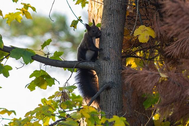 Білка. Squirrel.