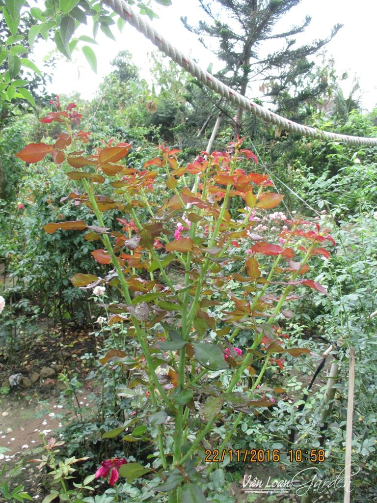 cach lam cho hoa hong leo ra nhieu nhanh (4)-vuonhongvanloan.com