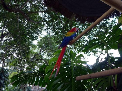 Papagallo ad Antigua