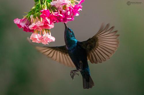 Beauty In The Air (Purple sunbird)