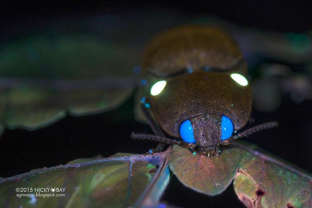 Click beetle (Pyrophorus sp.) - DSC_3382