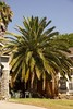 This is a Canary Island Palm that can grow up to 60ft and have tas many as 50 large arching pinnate leaves. As the name implies this palm trees are native to Canary Islands which are located in the Atlantic Ocean off the coast of northeast Africa.