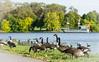 Mooney's Bay Geese : September 30, 2015 by jpeltzer