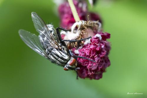 Fliege – Fly
