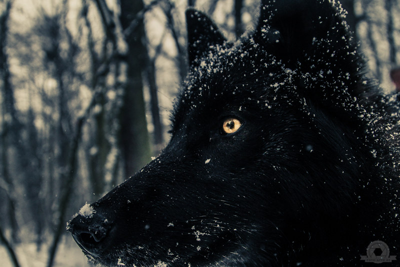 Lobelinne the black wolf