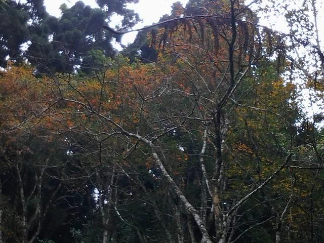 溪頭的楓葉62