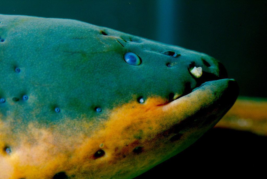 Electric eel (Electrophorus electricus)_4