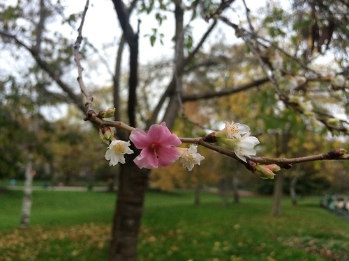 Autumn Cherry Blossom, Parc Monceau, Paris