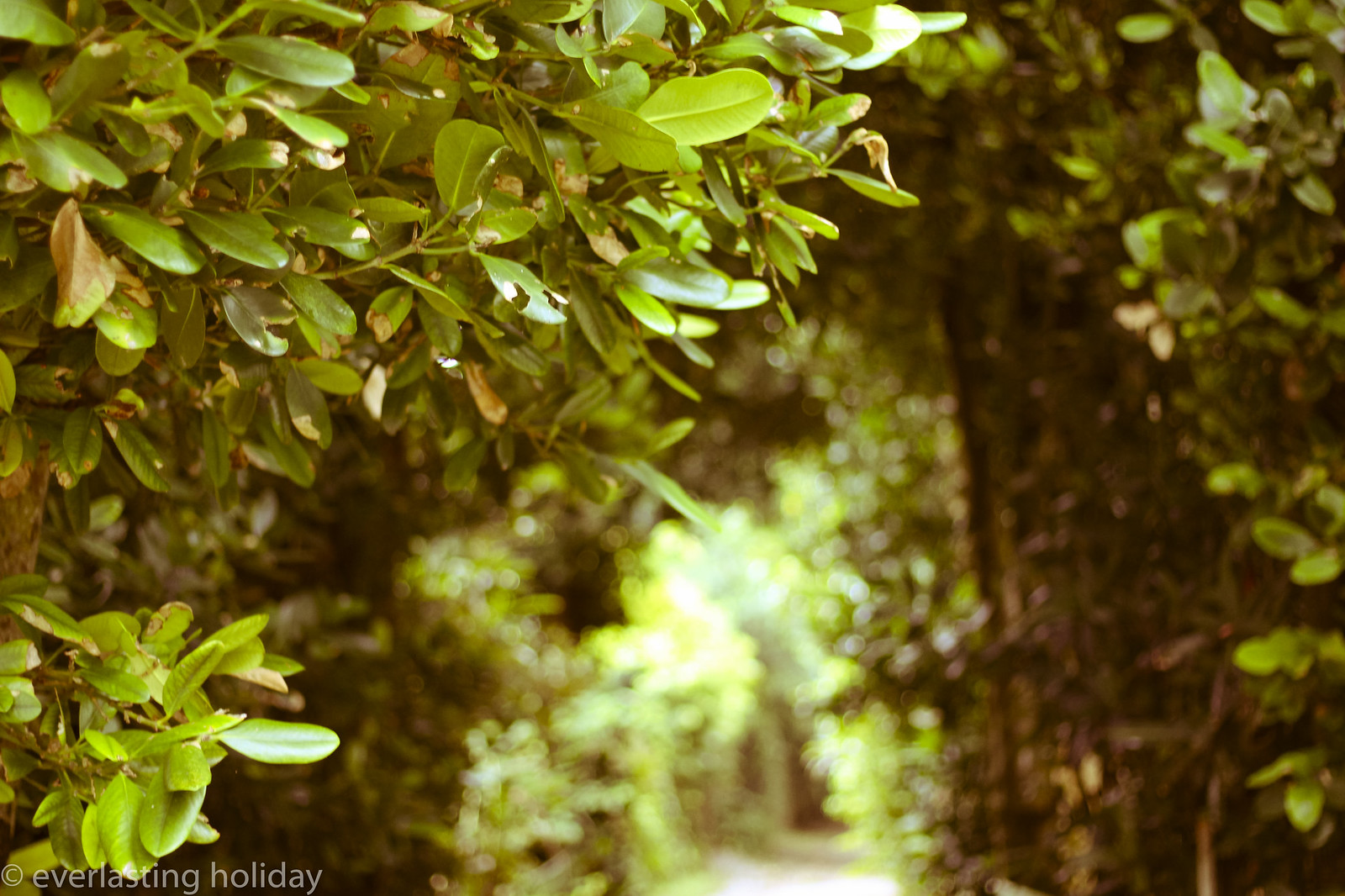 備瀬フクギ並木通り Bise Fukugi Tree Road-0004