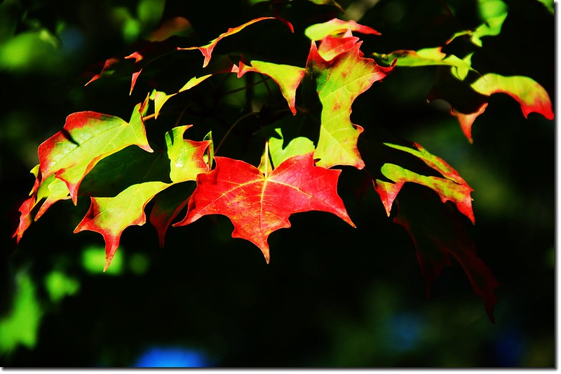 Sugar maple leaves (6)