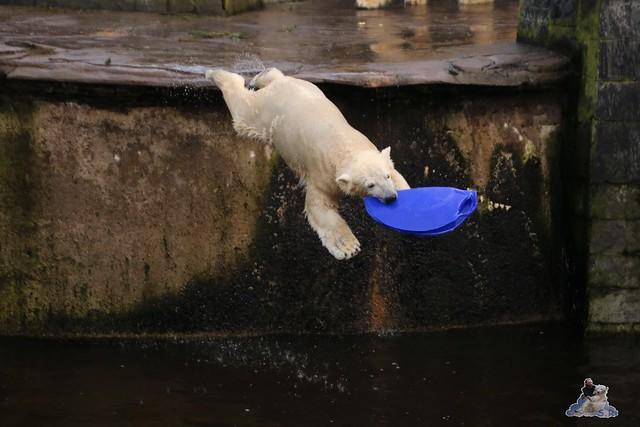 Eisbär Fiete im Zoo Rostock  0154