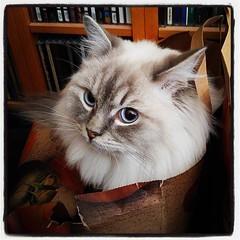 Katt i papperskasse. Bra kattaktivitet som hörs. #kattvakt